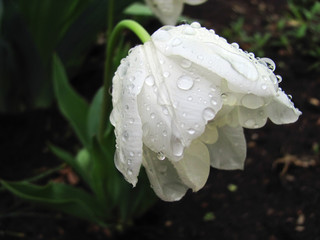 White Tulip after the rain bowed his head down