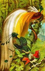 Greater bird-of-paradise (1), six-plumed bird-of paradise (2) and king bird-of-paradise (3) (from Meyers Lexikon, 1896, 13/510/511)