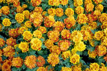beautiful yellow chrysanthemum flowers in the garden