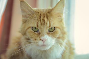 Maine coon cat close-up portrait