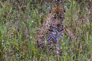 Leopard in teh green and flowers in Sabi Sands Game Reserve in South Africa