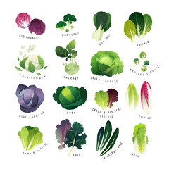 Clip art cabbage collection with broccoli, bok choy, cauliflower, savoy, kohlrabi, Brussel sprouts, Romain lettuce, endive, Chinese napa cabbage and curly kale