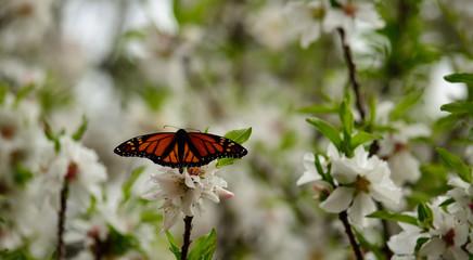Monarch butterfly on flowers of almond tree