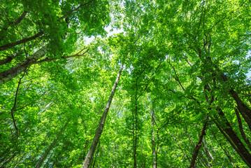 エコ 新緑のイメージ 北海道の原生林