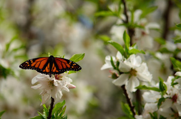 Monarch butterfly on almond tree with flowers in full splendor