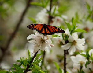 Beautiful monarch butterfly on flowers of almond tree, Danaus plexippus