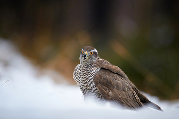 Close up raptor, Northern goshawk, Accipiter gentilis on the snowy ground. Low angle photo of bird of prey in its native spruce forest environment. Animal action scene. Winter nature.