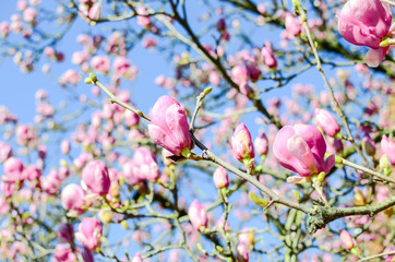 Close-up beautiful pink magnolia flowers in the spring season. Blooming purple magnolia tulip on tree branch under clear blue sky. Springtime blossom background.