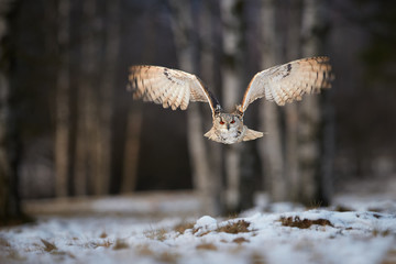 Eagle owl, Bubo bubo, huge owl, backlighted by setting sun, flying directly at camera against blurred snowy birches. Isolated Eagle-owl with bright orange eyes flying in winter nature.