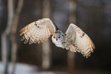 Eagle owl, Bubo bubo, huge owl flying against blurred snowy birches, backlighted by setting sun. Isolated Eagle-owl with bright orange eyes flying in winter taiga forest. Isolated owl in winter.