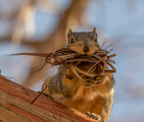 Fox Squirrel gathering bark for her nest.