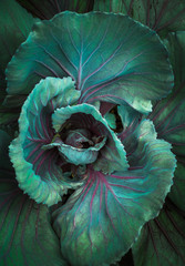 cabbage macro