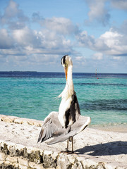 Grey Heron ( Ardea Cinera) standing on a beach in the Maldives d
