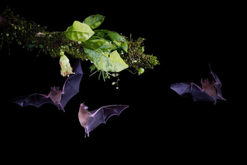Isolated on black, group of Pallas's Long-Tongued Bats, Glossophaga soricina, nocturnal animals, feeding by long tongue on nectar from tropical flower. Flash photography. Costa Rica.