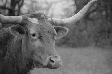 Wall Mural - Texas Longhorn in black and white on rural farm.  Cow for agriculture beef industry.