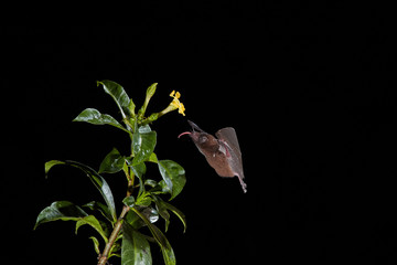 Isolated on black, Lonchophylla robusta, Orange nectar bat, feeding on nectar by long tongue from tropical flower. Side view. Night flash photography. Wildlife photography in Costa Rica.