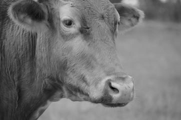 Wall Mural - Black and white cow on cattle farm.  Texas longhorn head closeup.