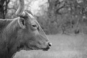 Wall Mural - Texas longhorn cow in black and white on agriculture cattle farm.