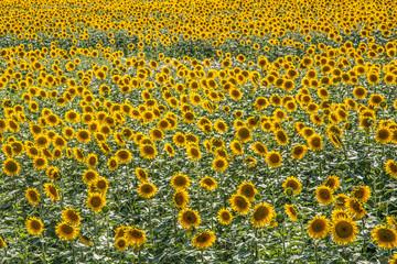 großes Sonnenblumenfeld