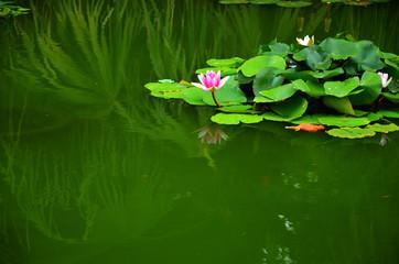 Sacred lotus flower