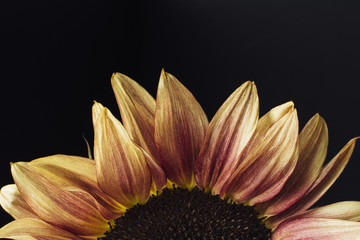 Cropped sunflower