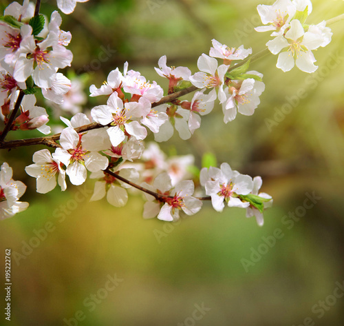 The cherry trees are blooming white flowers white cherry blossoms the cherry trees are blooming white flowers white cherry blossoms the cherry tree twig mightylinksfo
