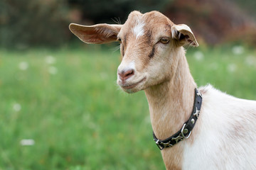 Young and very nice Anglo-Nubian goat