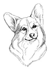 Vector hand-drawn sketch portrait of welsh corgi pembroke . Hand drawn domestic pet dog illustration isolated on white background.
