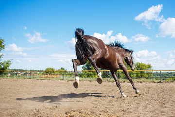 Young horse galloping in training paddock at sunny day. Equestrian sport background
