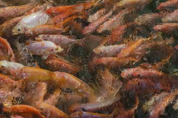 a lot of fish at a fish farm in Ceylon