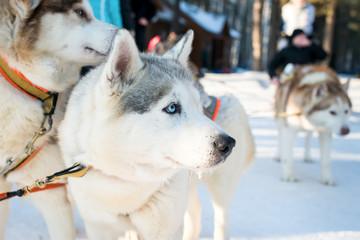 The husky skiing