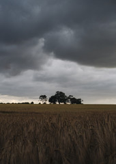 Storm clouds over a field of barley. Norfolk, UK.