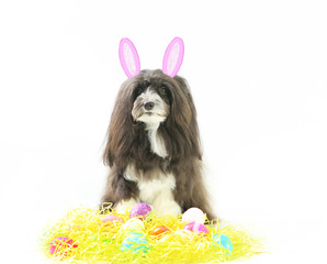 A havanese puppy dog with pink bunny ears sits amidst yellow grass and colored Easter eggs on a white isolated empty background.