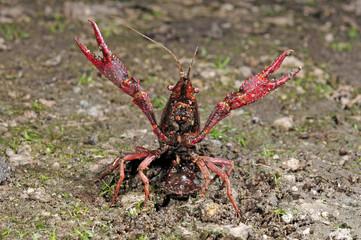 Roter Amerikanischer Sumpfkrebs / Louisianakrebs (Procambarus clarkii) in Abwehrhaltung - red swamp crawfish