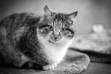 Monochrome photo of a beautiful cat