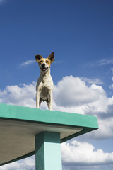 Dog on Rooftop