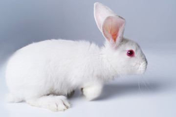 White rabbit on a light gray background.