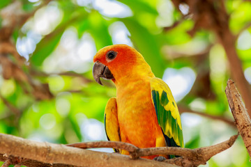 Sun Parakeet or Sun Conure parrot on tree.