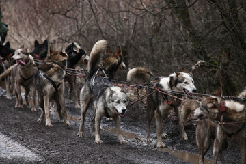 Sleddogs on the wet road