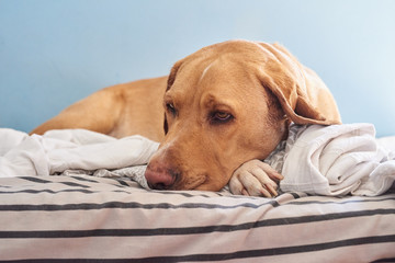 Tired dog lying on bed