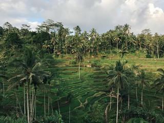 Terraced Rice fields of Ubud, Bali