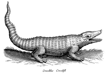 Crocodile in side view with open mouth (after a historic woodcut, illustration, engraving from the 17th century)