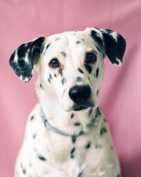 Cute dalmatian dog looking at camera