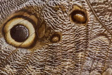 Giant owl Butterfly Wing