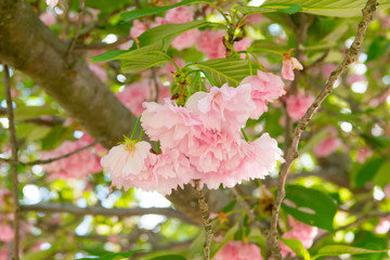 Blooming branch of Pink Cherry Prunus Kanzan in Springtime. Close up.