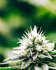 Indoor Cannabis Garden