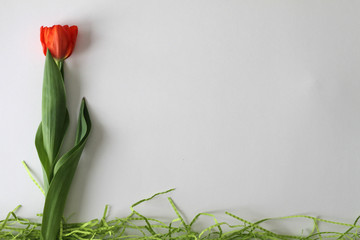 Red Spring Tulip On White Blank Space