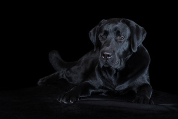Beautiful young male dog labrador breed on black background