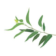 A brunch of Eucalyptus