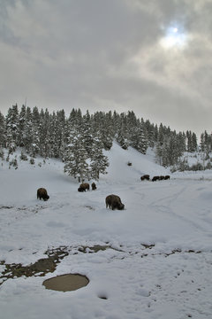 Buffalo Grazing in the Snow Looking for some Grass Late Winter